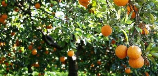 Finisce ai domiciliari per il furto di 30 kg di arance