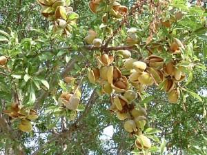 Mandorle-albero