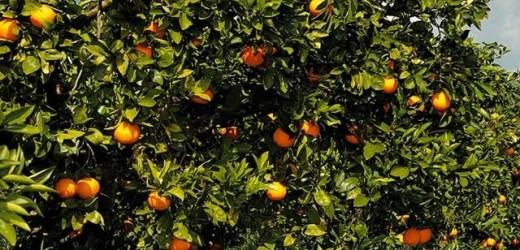 Fermati dai Carabinieri di Cassibile, e poi rimessi in libertà, due giovani sorpresi a rubare 200 kg di arance