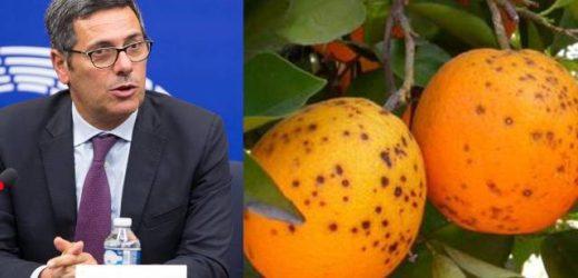 """Malattia degli agrumi """"Citrus Black Spot"""", La Via: """"Blocchiamo importazioni dai Paesi di provenienza dei materiali infetti"""""""