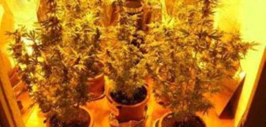 Denunciato a Siracusa dalla Polizia un 38enne trovato a coltivare 24 piante di marijuana in casa